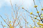 초봄의 경복궁, 산수유 꽃 그늘 아래서 (펜탁스 K-01)