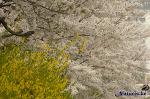 안산의 벚꽃, 화정천과 호수공원 사이