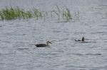 안산 호수공원 물새들