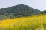 창원 북면수변공원, 언덕을 가득 뒤덮은 노란 금계국