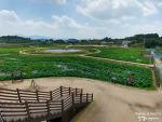 아라홍련, 아라백련 이젠 연꽃 시즌? 함안연꽃테마파크