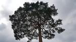 [함양여행] 함양 마천면 벽송사에서 만난 수령 300년 된 소나무/천상의 극락세계로 뻗은 300년 된 벽송사 소나무/함양여행코스/함양 가볼만한 곳
