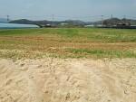 인삼밭 예정지 (녹비 작물 수단) 관리, 2년근 입노 완료