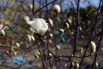 [행복찾기] 봄소식 전하는 3월의 꽃, 목련/북쪽을 향해 핀다고 하여 붙여진 이름 북향화/목련꽃 꽃말은 '숭고한 정신'과 '우애'/목련 꽃차 만드는 법/박목월 시, 4월의 노래/죽풍원의 행복..