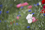 양산 황산공원의 양귀비와 수레국화