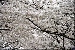 ( 신천 벚꽃)춘래불사춘 ( 春來不似春 )이 화무십일홍(花無十日紅) 매경한고,백화난만