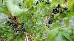 [농사일기] 지난해 심은 2년생 블랙커런트 묘목에서 첫 수확의 기쁨을 맛보다/블루베리보다 안토시아닌 성분이 10배나 많은 블랙커런트 효능/블랙커런트 생즙 한 잔에 가득한 행복/죽풍원의 ..