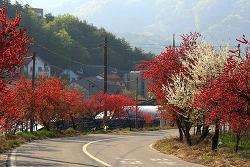 [충남 금산] 금산 홍도화 가로수길, 금산 홍도화축제