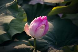 #123 연꽃 봉우리..