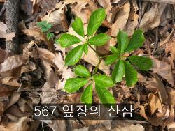 567 잎장의 산삼 기록 사진