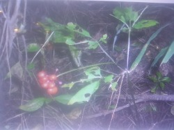 2002년 임오년에 만난 산삼 (산원초)