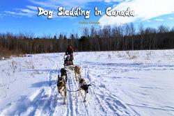 캐나다 개썰매(Dog Sledding) 체험 (2015.02.16)
