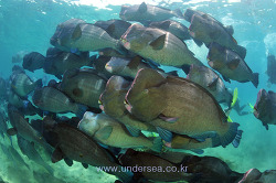 Dive with Humphead parrotfish in Sipadan, Malaysia