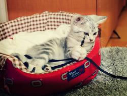냥이 - 아메리칸 숏헤어는 츄리닝 바지끈을 좋아합니다.
