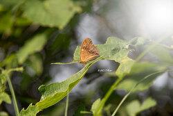 암검은표범나비(수컷)