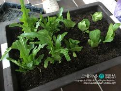 [텃밭] 상추 심으며 봄을 준비해보아요