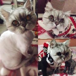 [미용정보] 예민한 고양이도 가능한 무마취 미용, 호동이 도전하다!