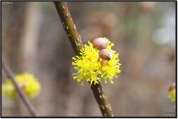 산수유. Cornus officinalis