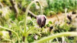 할미꽃 사진 Pasqueflower