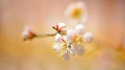 봄이 오네요. 길가에 매화꽃이 수줍게 수 놓네요.  Plum blossom