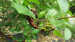 아로니아 묘목 품종과 블랙 초코베리 열매 수확시기
