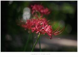 [9월 야생화] 꽃무릇(석산) 효능-기침.가래.임파선염.각종종기.항암작용.복막염/유독성식물/약용식물