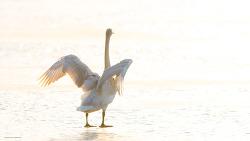 백조의 호수같은 한강의 아침 고니를 보니 덩달아 마음이 평온해지는 느낌이네유~