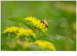[5-6월 노란색야생화] 소녀의 사랑 기린초 - 야생화학습장에서