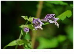[5월 보라색야생화] 벌깨덩굴 - 오대산 월정사 전나무숲 야생화