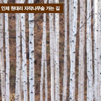 인제 원대리 자작나무숲 가는 길