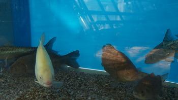 설연휴 아름다운 희귀민물고기 특별체험전 2월 9일까지