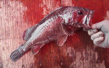 바다좌대 자연식 삼길포좌대낚시 우럭4짜 영상