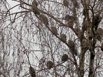 나무 한 그루에 부엉이가 50여 마리