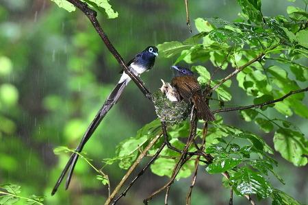 양양서 발견된 멸종위기 야생생물 2급 '긴꼬리딱새'
