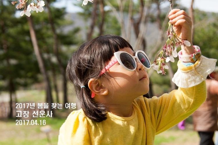 [군산-고창 여행] 고창 선운사, 봄은 동백꽃에서 벚꽃으로 내려 앉았다