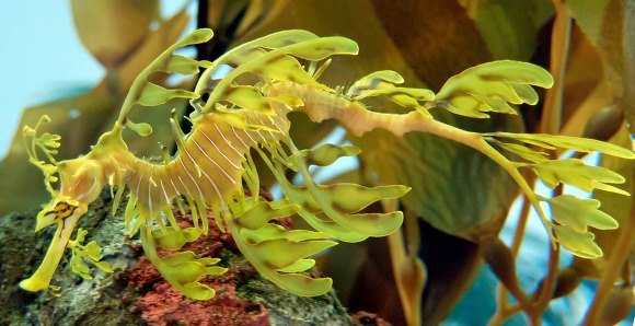 Leafy Sea Dragon Phycodurus eques