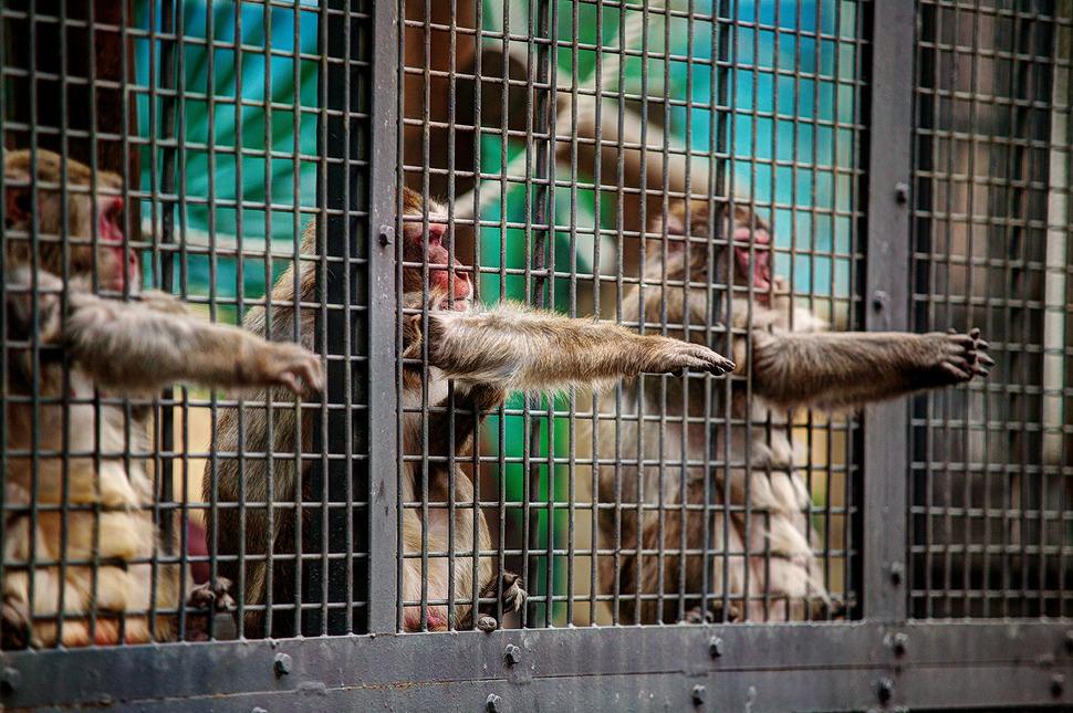 철창안에 원숭이들이 사람들이 던져주는 음식을 받으려 철창밖으로 손을 내밀고있다.