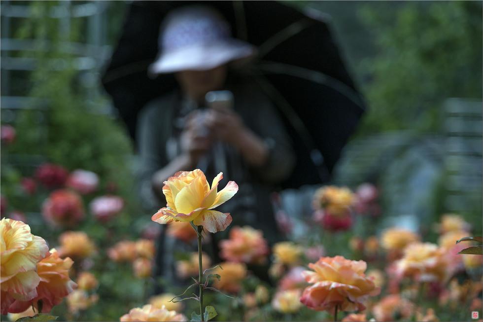[삼성NX500] 장미공원에서.... _ 2