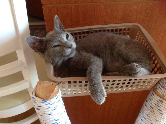 반려동물 러시안블루 고양이 미미