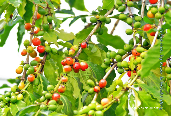 커피나무 커피체리(Coffee cherry)