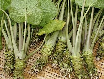 고추냉이(와사비) 효능 -고추냉이잎 장아찌, 톡쏘는 맛 이유