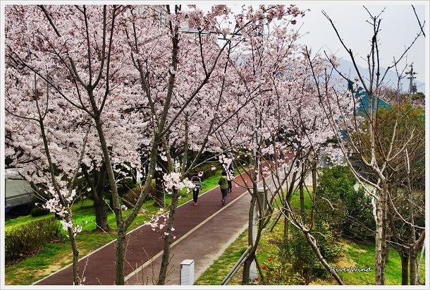 구포뚝길 벚꽃터널