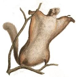윙수트의 모티브, 날다람쥐