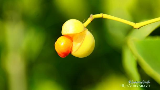 서철나무 열매