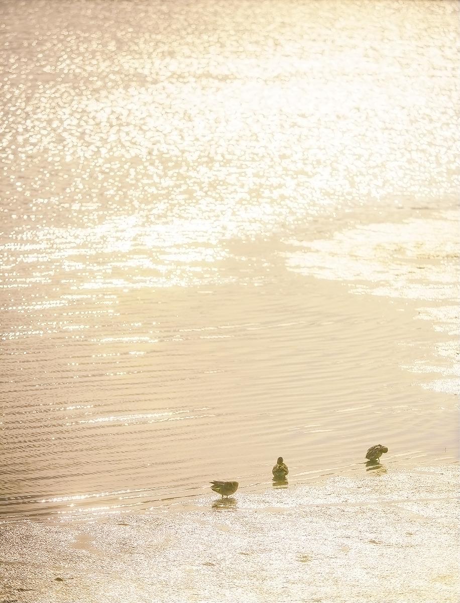 노을지는 순천만에 새끼오리들이 헤엄칠 준비를 하고있다