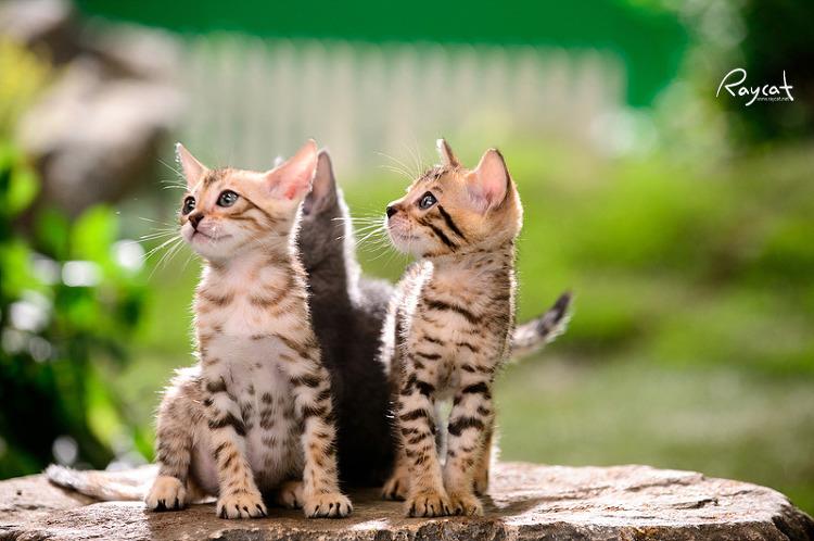 벵갈 고양이들