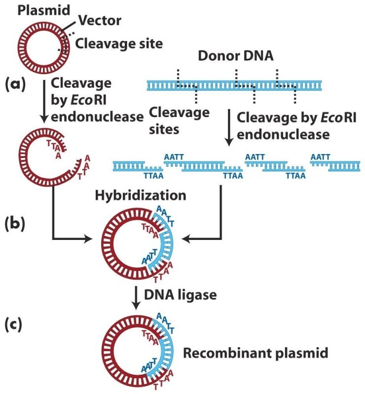 how to cut restriction enzyme digestion circular dna