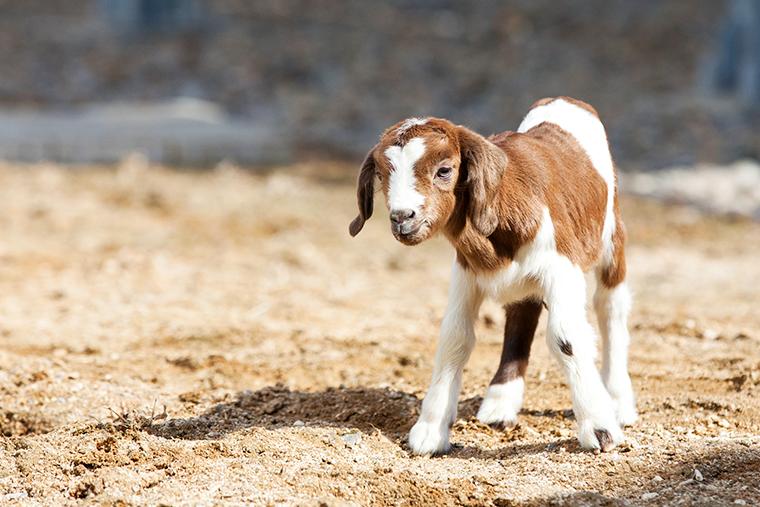 아기양 코리델면양 스카이팜 아쿠아플라넷일산 아쿠아리움데이트 동물원데이트 봄나들이