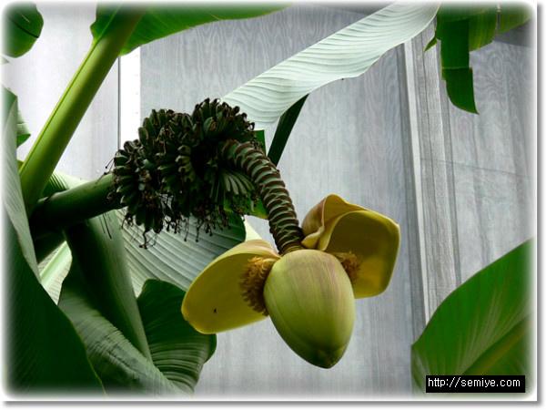 과일-식품-바나나 관리비결-바나나-열대과일-바나나 보관법-바나나 다이어트