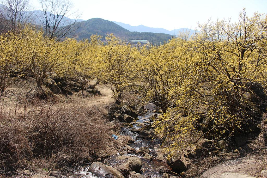상위마을 계곡에서 내려다본 산수유꽃